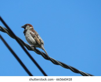 Sparrow on electric power line with blue sky as background