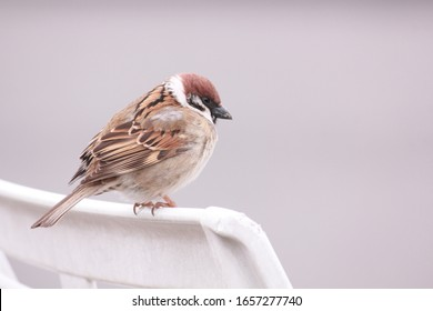 Sparrow on the garden chairs.