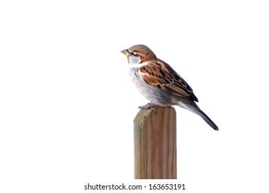 A sparrow on a pole isolated on white