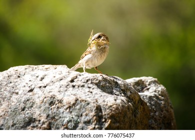 Sparrow on a rock with grass in its mouth