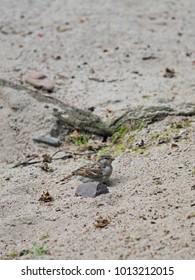 sparrow on the sand