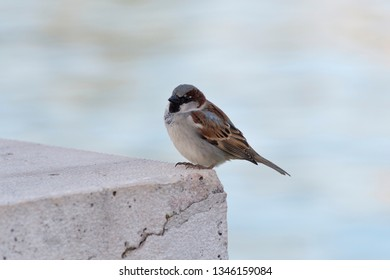 Sparrow on a wall waiting for a chance to feed
