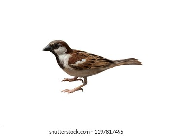 Sparrow on white background isolated