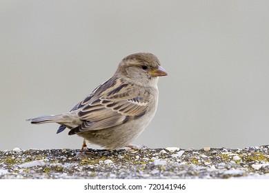 Sparrow, Passer domesticus.