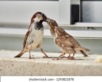 Sparrow (passer domesticus) feeding its young, in a window of a building in Xàtiva, Spain
