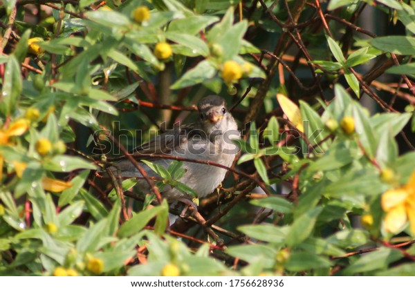 Sparrow perched in a flowering Saint John's wort shrub