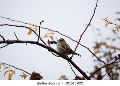 Sparrow perched on a branch of rosehip