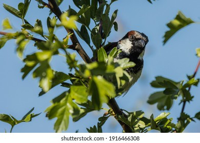 Sparrow perched on a hawthorn hedge