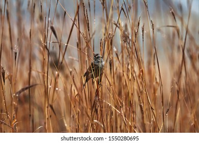 Sparrow perched on some big bluestem