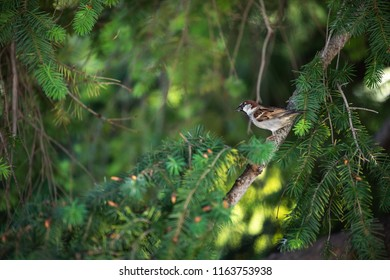 sparrow in a pine tree