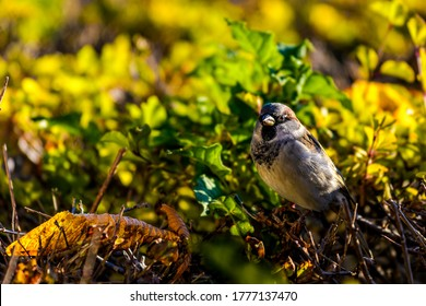 Sparrow portrait in nature scene. Sparrow portrait in nature. Sparrow
