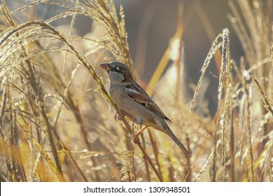 sparrow in the reeds, Ammersee