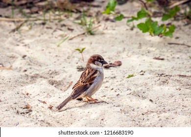 Sparrow in the sand looking for food in the spring
