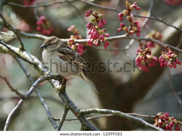 sparrow sitting in a cherry tree