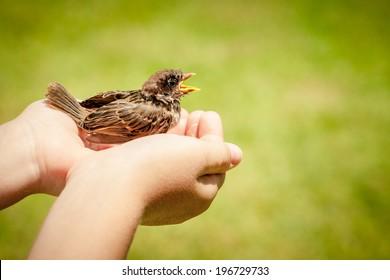 sparrow sitting in children`s hand