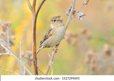 Sparrow sitting on a dry branch of a large burdock, female. The house sparrow (Passer domesticus) is a bird of the sparrow family Passeridae.