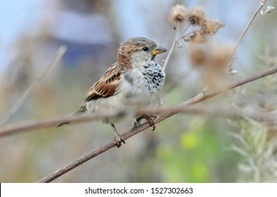 Sparrow sitting on a dry branch of a large burdock, male. The house sparrow (Passer domesticus) is a bird of the sparrow family Passeridae.