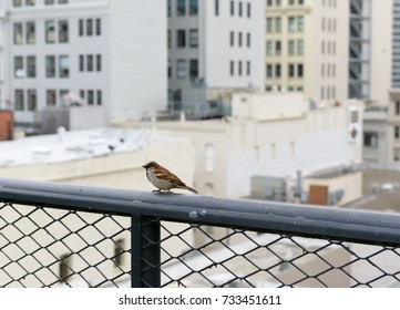 A sparrow sitting on the metal fence with the background of the city behind it ( San Francisco ).