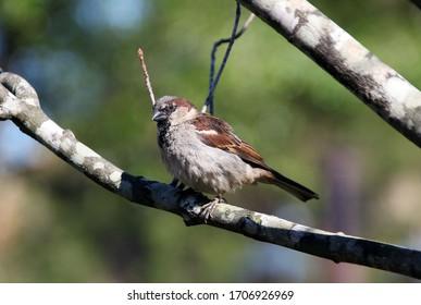 SPARROW SPANISH BIRD ON A TREE