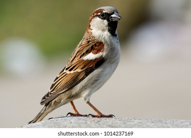 A sparrow standing on a concrete wal