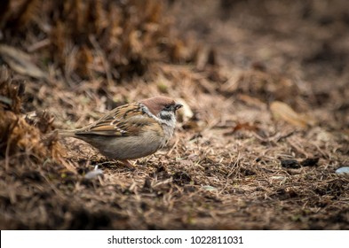 A sparrow is standing on the ground