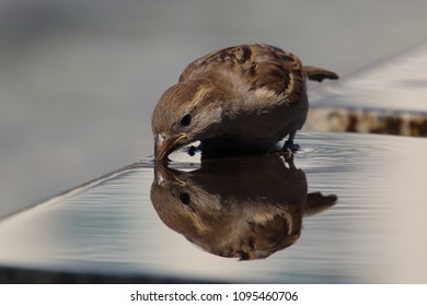 sparrow at water with reflection