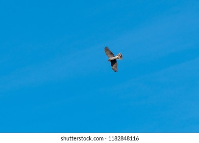 Sparrowhawk, Accipiter Nisus, watching from high up in the blue sky
