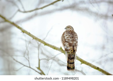 Sparrowhawk on branch