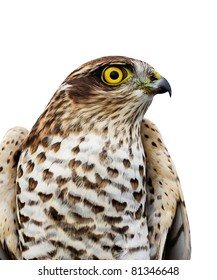 The sparrow-hawk on a white background.