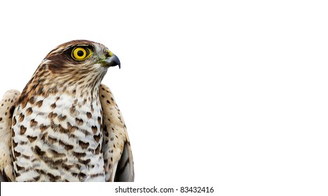 The sparrow-hawk on a white background. Aspect ratio as business card.