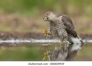 Sparrowhawk takimng a walk in the bath