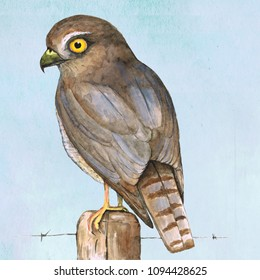 Sparrowhawk watercolor illustration