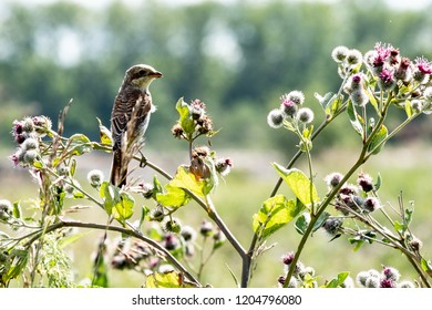 Sparrow-like bird looking into the distance sitting on a high grass burdock, in the background blue sky summer day