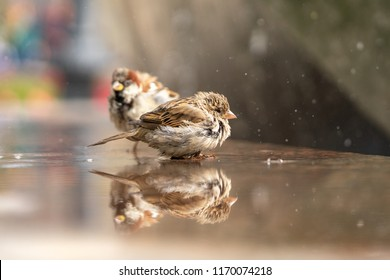 Sparrows at the city fountain. Birds are wet. Sparrows in nature. Female and male sparrows.