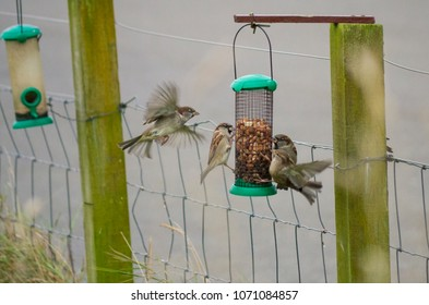Sparrows eat nuts from a bird feeder in Sutherland Scotland UK