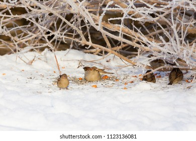 Sparrows feeding nuts and seeds at winter
