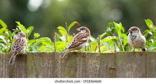 Sparrows, house sparrows (passer domesticus) on a garden fence, UK. Small British birds