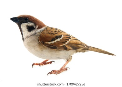 Sparrows as the most common birds in human environment. Eurasian tree sparrow (Passer montanus) in dynamics isolated on white background