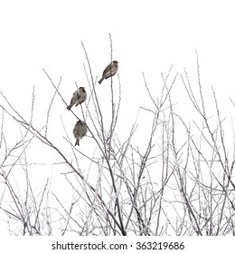 sparrows on branches in winter