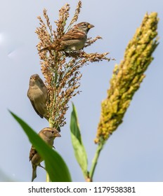 Sparrows on tall  corn stock plant Kentucky nature photography