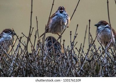 sparrows sing in the bushes