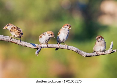 sparrows sit on a branch one of them screams , bird watching, wildlife