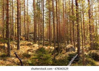 Sparse forests in northern Sweden