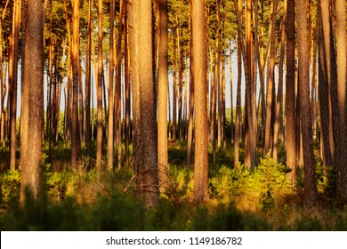 sparse pine forest as a background
