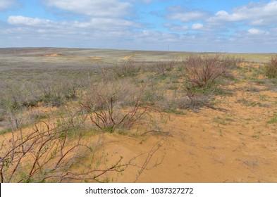 sparse vegetation on yellow sand dunes in spring  Khulkhuta, Republic of Kalmykia
