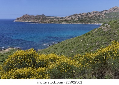 Spartium junceum, Spanish broom, Weavers broom near Ile Rousse, Balagne, Northern Corsica, France
