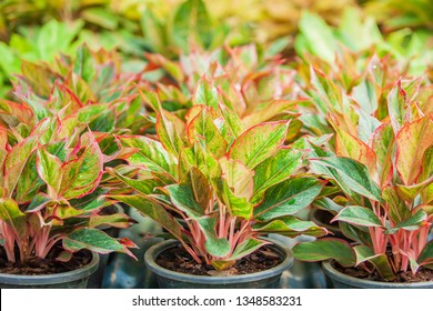 The spathe flower of Aglaonema Siam Red (Chinese Evergreen) in a tropical nursery, lush and beautiful leaves, pink, red and green colors. Selective focus.