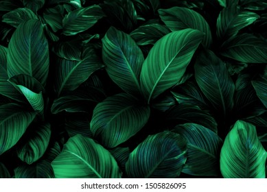 Spathiphyllum cannifolium leaf concept, dark green abstract texture, natural background, tropical leaves in Asia and Thailand