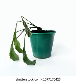Spathiphyllum. Dried dead houseplant in old pot on white background