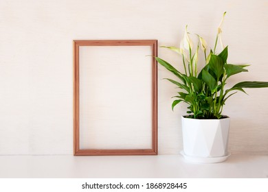 Spathiphyllum flower on a white background. Lily of the world in a minimalistic style. The concept of home floriculture and landscaping space.